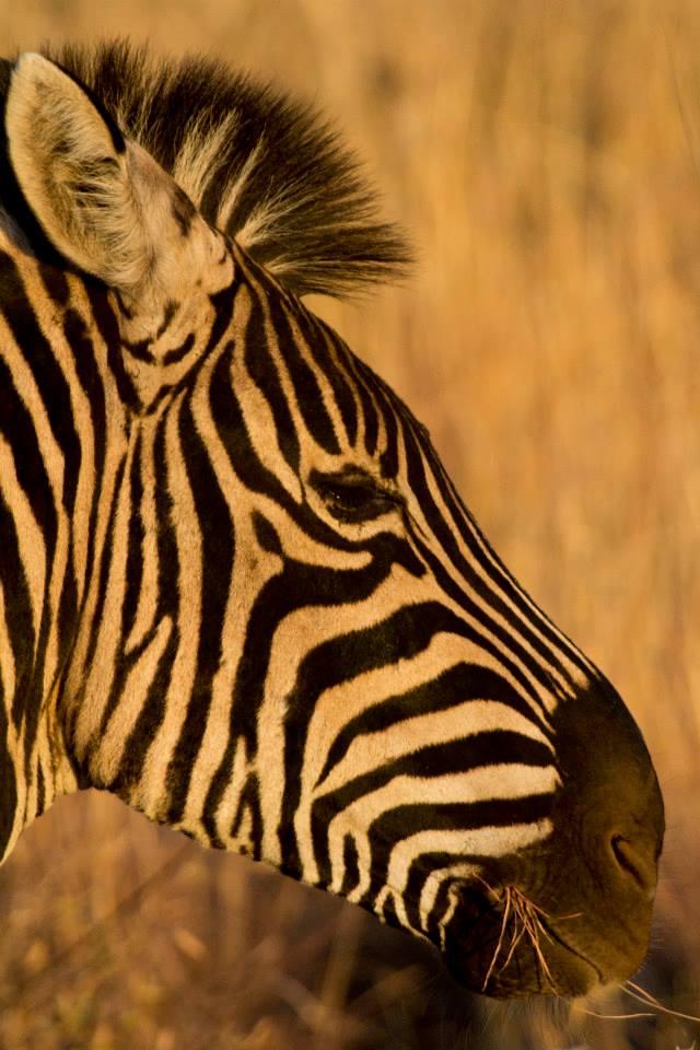 Zebra in South Luangwa National Park Zambia Helen in Wonderlust