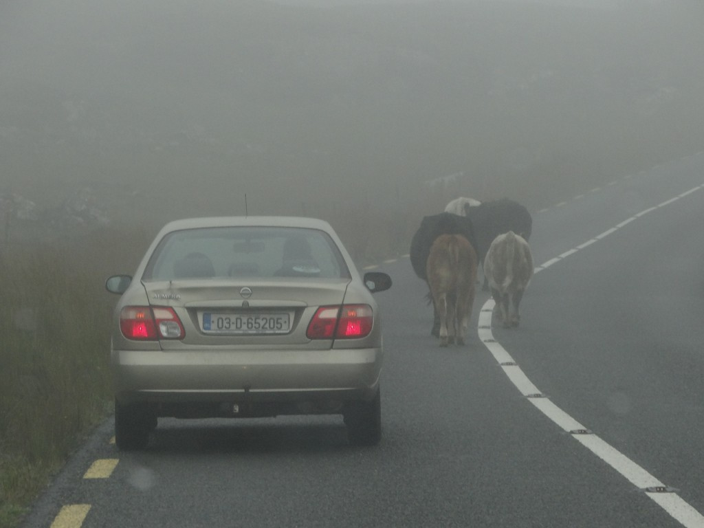 Cows on the Road in Ireland