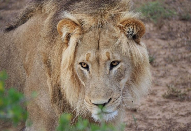 Lion in Addo Elephant National Park in South Africa