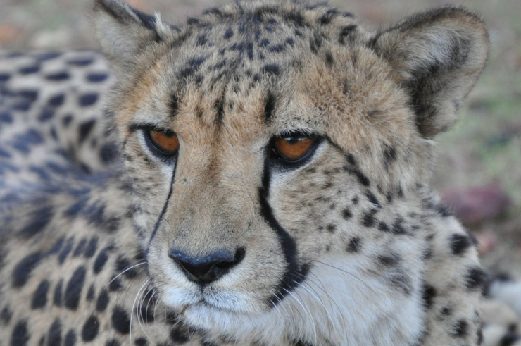Cheetah in Etosha National