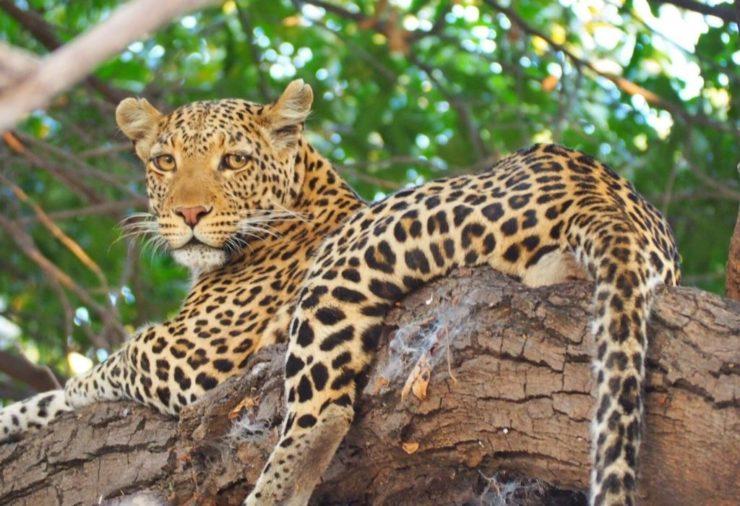 Leopard in Chobe National Park - Botswana