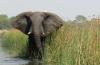 Elephant in Liwonde NP Malawi