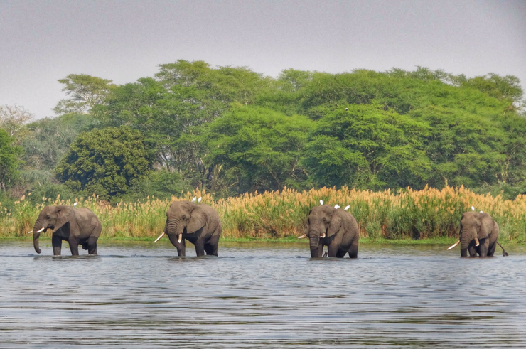 Elephants in Liwonde National Park