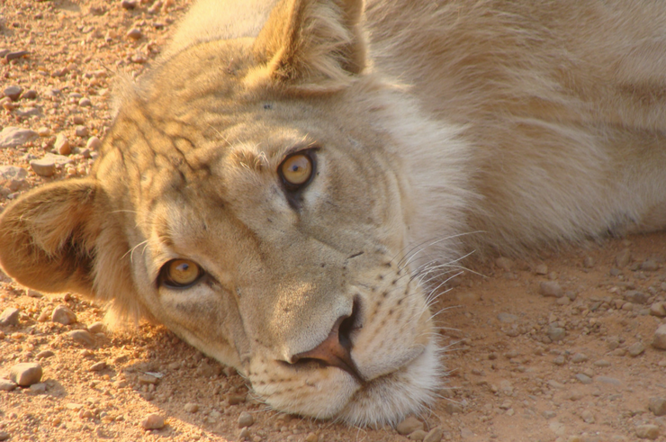 Lion in South Luangwa National Park Zambia