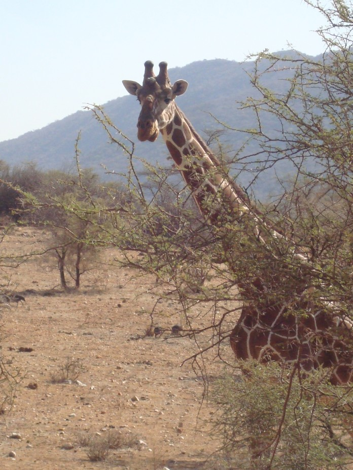 Samburu National Reserve Reticulated Giraffe