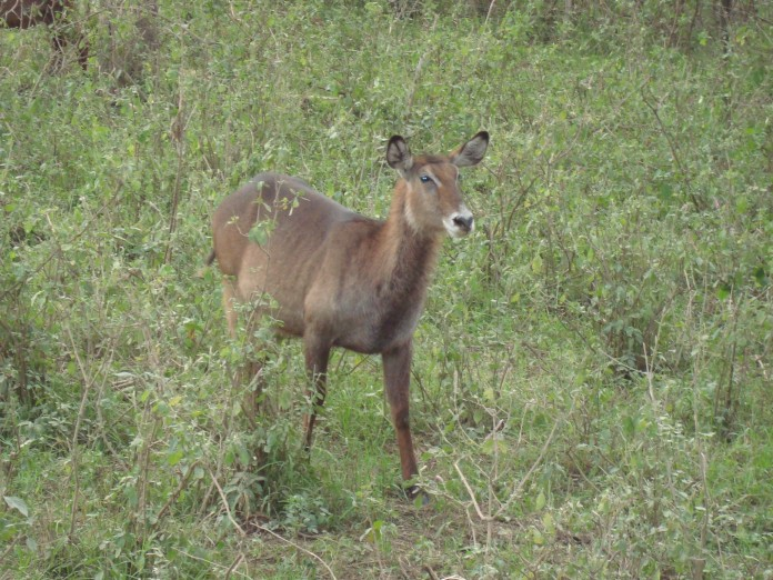 Samburu National Reserve Female Waterbuck