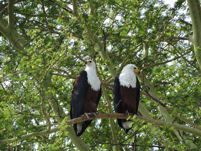 Fish Eagles at Liwonde National Park Malawi https://www.heleninwonderlust.co.uk