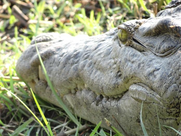 Liwonde National Park Crocodile