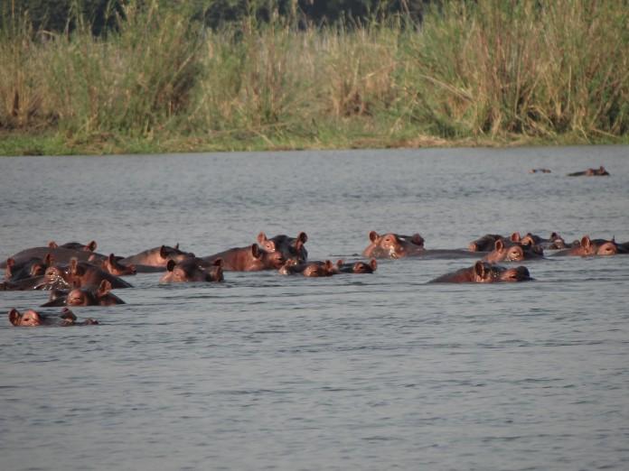 Liwonde National Park Hippo