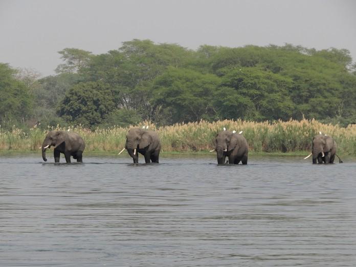 Liwonde National Park Elephant
