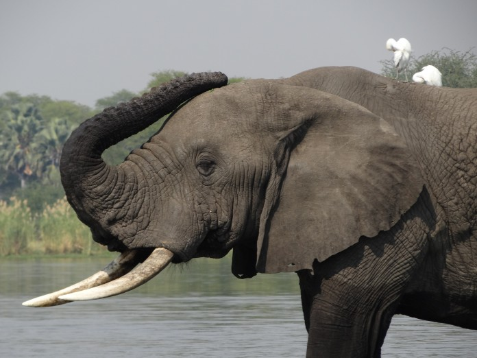 Liwonde National Park Elephant