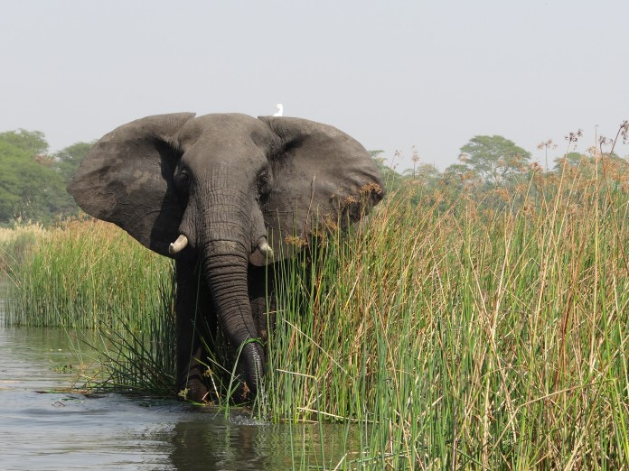 Elephant in Liwonde National Park