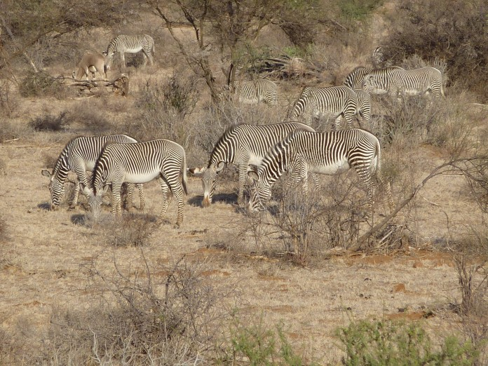 Samburu National Reserve Grevy's Zebra