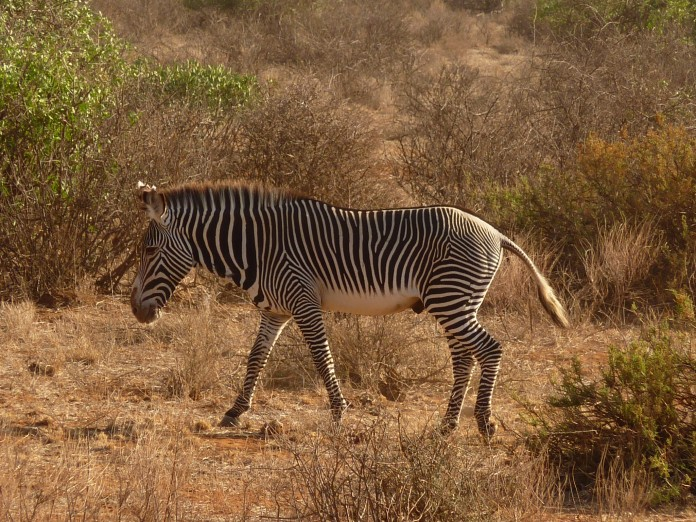 Samburu National Reserve Zebra