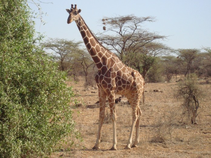 Samburu National Reserve Giraffe