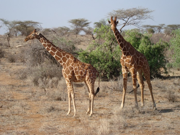Samburua National Reserve Giraffes