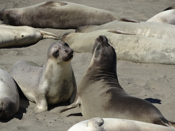 California Road Trip Itinerary - Pacific Coast Highway Seals