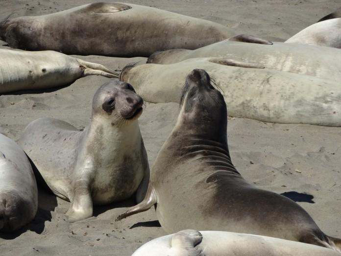 California Road Trip Itinerary - Pacific Coast Highway Seals