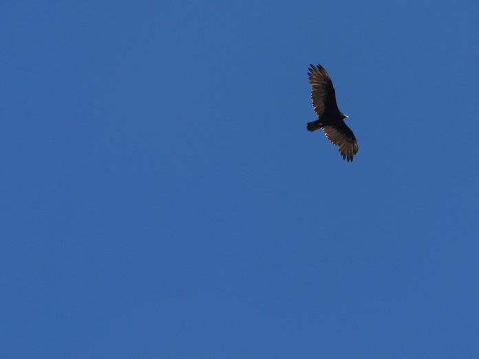 California Road Trip Itinerary - California Condor