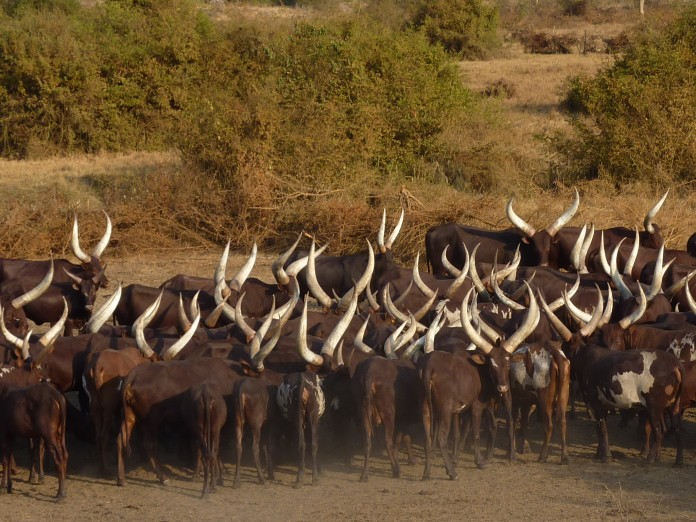 Long Horned Cows Uganda Ankole-Watusi cows