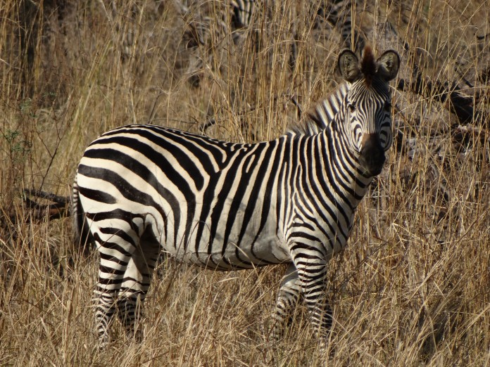 South Luangwa National Park Zambia (23)