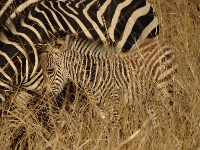 South Luangwa National Park Zambia (53)