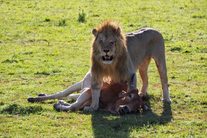 Lion Kill in the Masai Mara