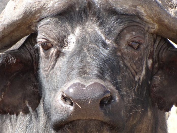 Cape Buffalo in the Ngorongoro Crater