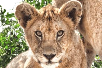 Serengeti Safari