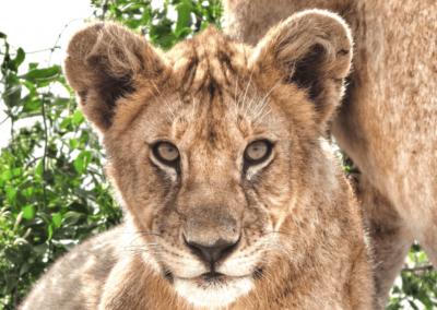 Serengeti Safari Feature Image