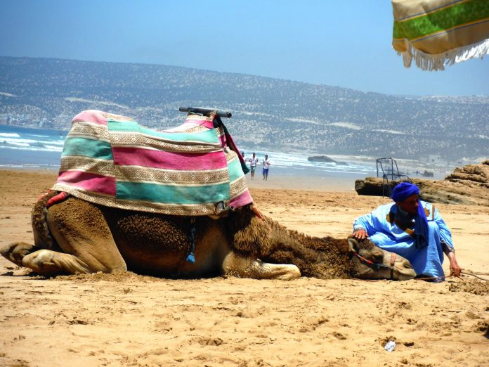 Camel on the beach in Morocco.