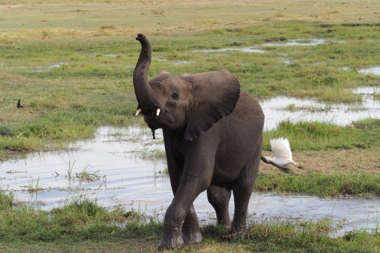 Elephant in Amboseli National Park, Kenya.