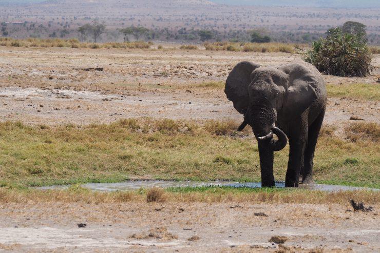 An elephant in Amboseli National Park, Kenya.