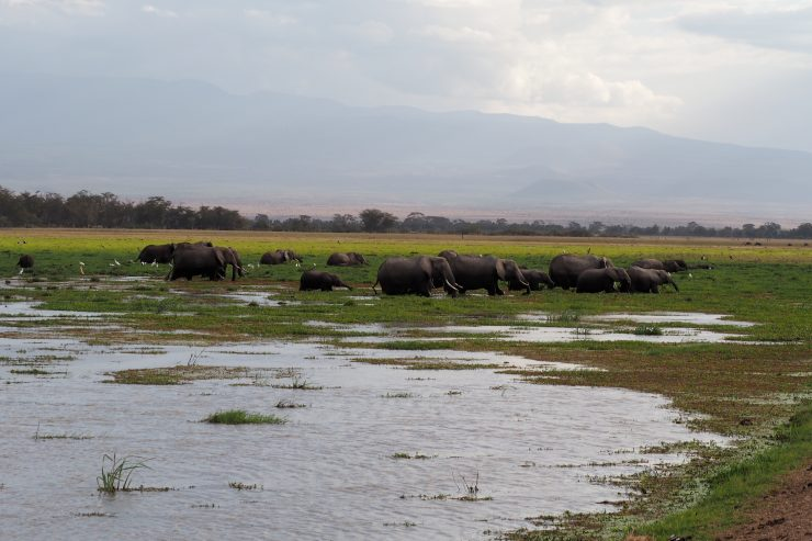 Elephants in Amboseli National Park, Kenya.