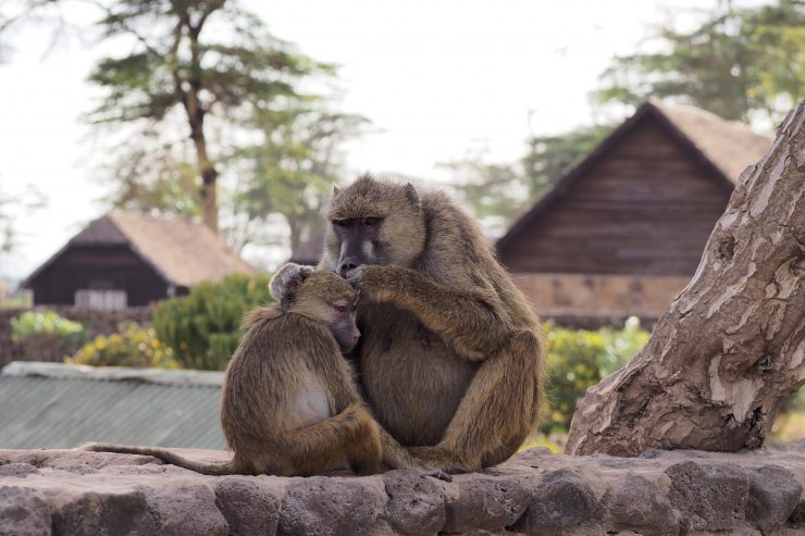 Baboons in Amboseli National Park, Kenya.