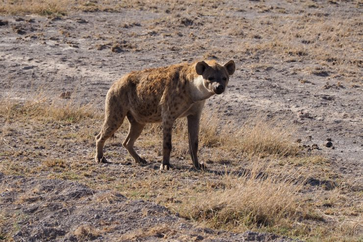 Hyena in Amboseli National Park, Kenya.