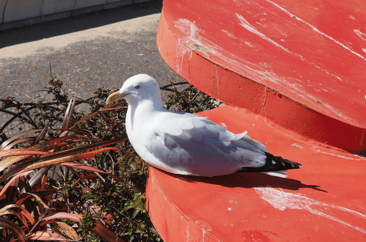 Seagull on Llandudno Pier