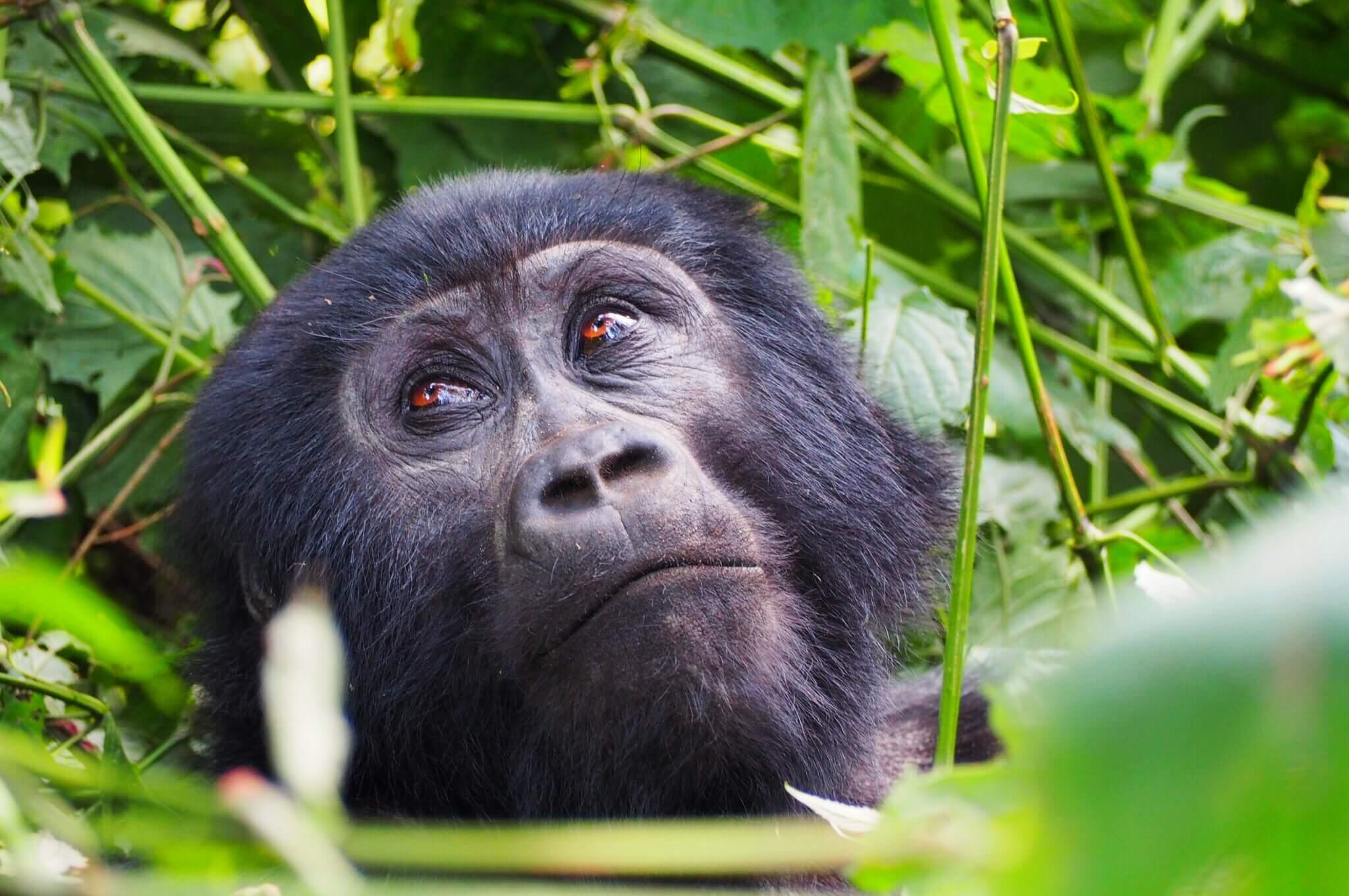 Gorilla trekking in Uganda.