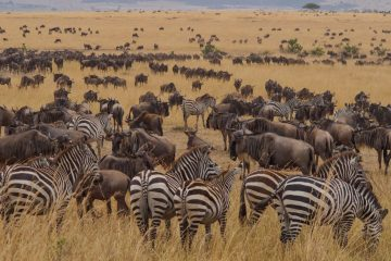 The Wildebeest Migration, Masai Mara