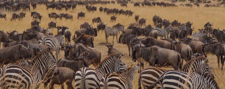 The Wildebeest Migration, Masai Mara