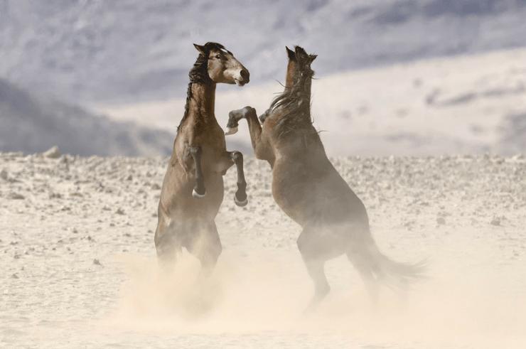 Wild Namib Desert Horses