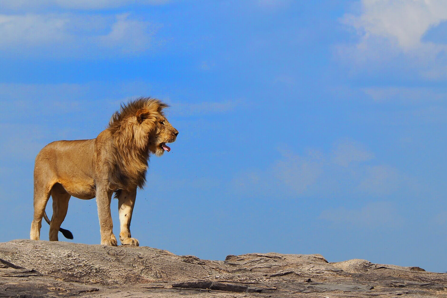 Lion in the Serengeti - Rock My Adventure