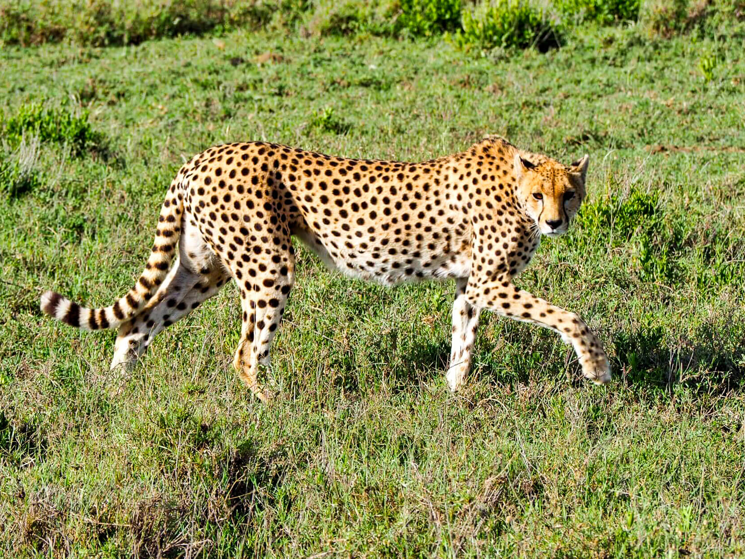 Cheetah in the Serengeti - Rock My Adventure
