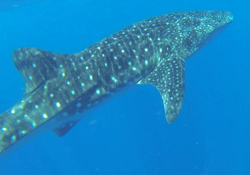 Whale Shark, Tofo, Mozambique