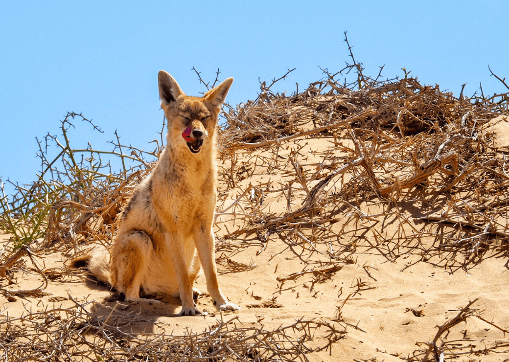 Black backed jackal, Sandwich Harbour, Namibia