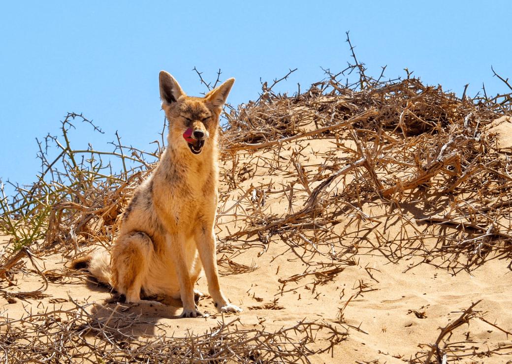 Black backed jackal, Sandwich Harbour, Namibia