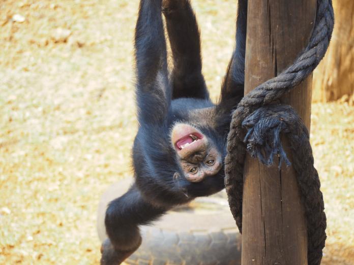 Tacugama Chimpanzee Sanctuary, Sierra Leone