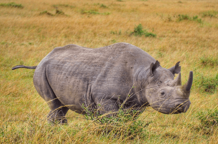 Black Rhino in Kenya - Helen in Wonderlust