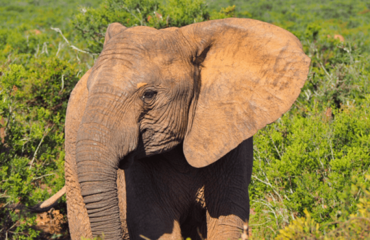 Elephant in Addo Elephant National Park