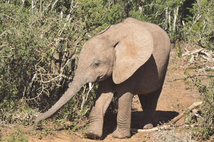 Baby elephant in Addo Elephant National Park